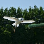 Comet, the Barn Owl enjoys her flying display!