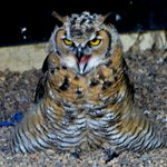 I am not sure which Owl this is :(