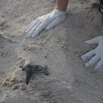 A leatherback, the largest sea turtle, found struggling and now will survive.