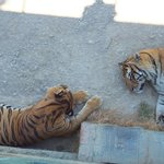 Siesta time for the Tigers