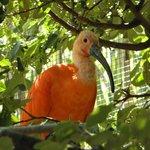 L'ibis rouge