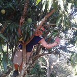 picking mangos in the b&b yard.
