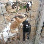 Crazy goats!