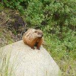 Marmot sunning himself!