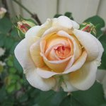 Fin rosenträdgård