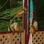 squirrel monkey on the porch