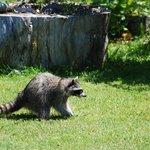 Racoon in the garden