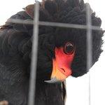 Gorgeous bateleur eagle