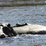 hippos taken from the boat