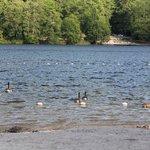 The geese like the lake too.