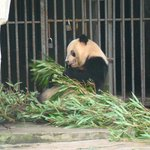You You feeding on bamboo