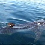 Whale shark in Golfo Dulce, Coista Rica