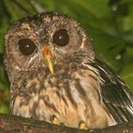 Barred Owl on our night walk