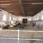 Piber Stud Farm, Austria