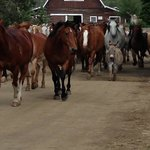 The horses -- and Petey the donkey -- are off to pasture!