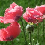 Marc's famous poppies