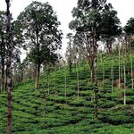 Tea Garden on the estate
