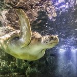 Green turtle Lulu, by Zac Macaulay