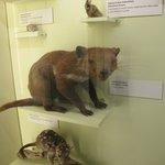 devil tasmanian