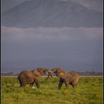 Elephants fighting in front of the Kilimanjaro
