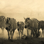 Dusty homecoming of the zebra
