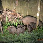 Family of pigs at night