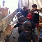 Patting a calf