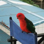 King parrot visiting the balcony