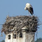The local stork