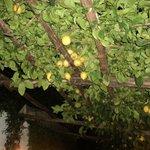 Pergola di limoni