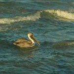 Pelican in front of hotel