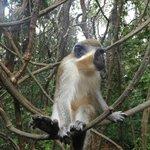 Green monkey up close