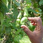 Cashews from the cashew tree...
