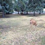 deer in the ranger's yard