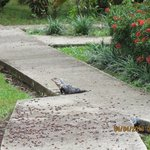 Iguana on the hotel site