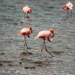 Flamingo`s bij Boka Slagbaai.