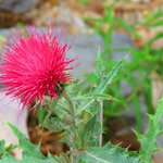 Mexican thistle.