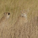 cheetah and her two teenage cubs