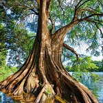 A giant cypress tree growing along the bank of the Lake.