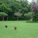 South East Asia fresh green with handsome roosters