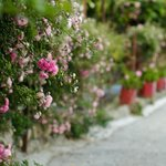 Flowering fences at homes around Ramgarh Bungalows