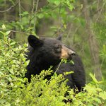 Black bear in hedgerow near road