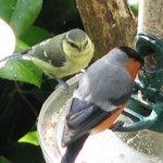 Bullfinch and baby bluetit