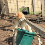 Patas Monkey getting food from the bucket