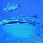 Whale Shark a must
