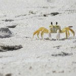 Ghost crab near our beach chairs one day