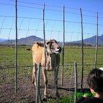 Largest antelope - the Eland