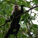 Capuchin Monkey on Hotel Grounds