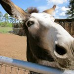 Annabelle the donkey