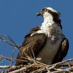 Osprey closeup near Swan Falls Dam